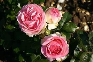 Rosen Kaufen Günstig : eden rose 85 hochstamm und andere rosen kaufen sie g nstig im online shop von rosen ~ Markanthonyermac.com Haus und Dekorationen