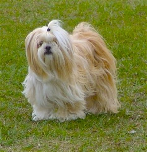 613 best images about lhasa apso on