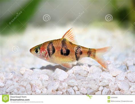 poisson tropicaux d eau douce aquarium poisson naturel
