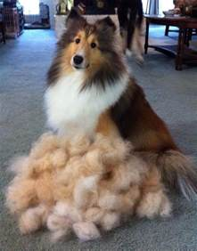 sheltie shedding in winter 1000 images about sweet shelties on shetland