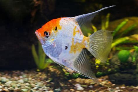 vente de poissons d eau douce gizia lons le saunier amour oxygene aquarium