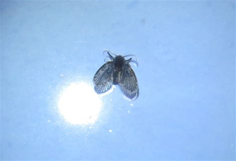 bathroom flies archives what s that bug