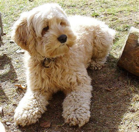 cockapoo cocker spaniel and poodle cross breed oh so gorgeous future ideas