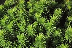 Kletterpflanzen Immergrün Winterhart : sedum reflexum green cushion tripmadame pflanzen versand f r die besten winterharten ~ Markanthonyermac.com Haus und Dekorationen