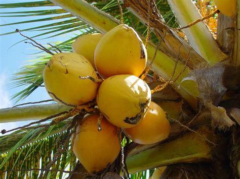 caribfruits noix de coco fruits tropicaux