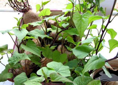 un jardin habit 233 culture de la patate douce